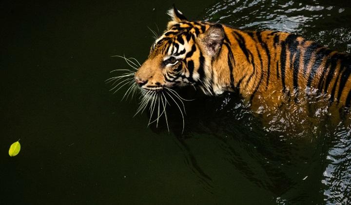 балийский тигр, балийские тигры, тигр с острова бали, тигр с бали, тигры с бали