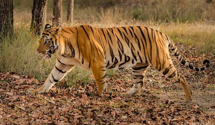 бенгальский тигр, индийский тигр, бенгальские тигры, бенгальский тигр это, численность бенгальских тигров