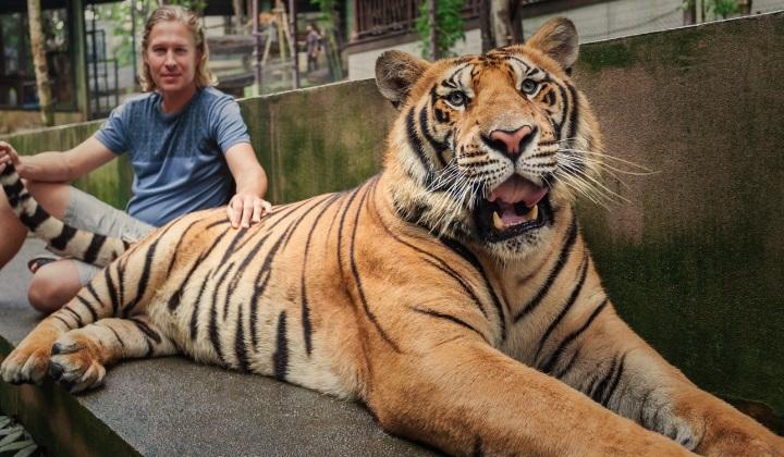человек и тигр, охота человека на тигра, нападение тигра на человека