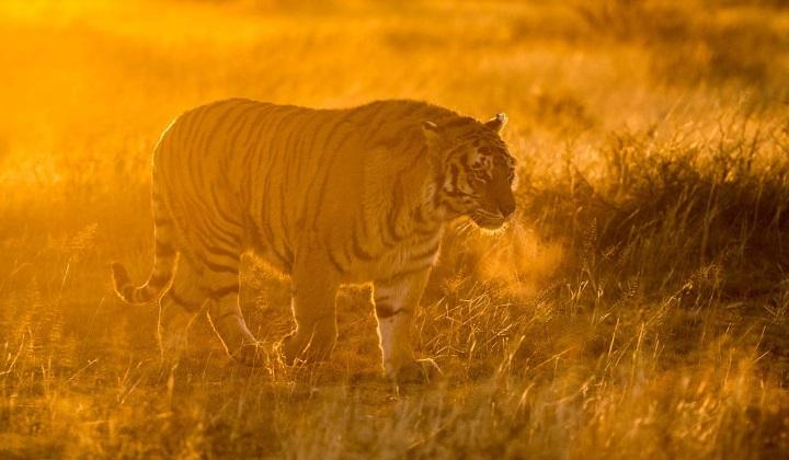 тигры людоеды, нападения тигров на людей, жертвы тигров, тигры людоеды, тигр-людоед