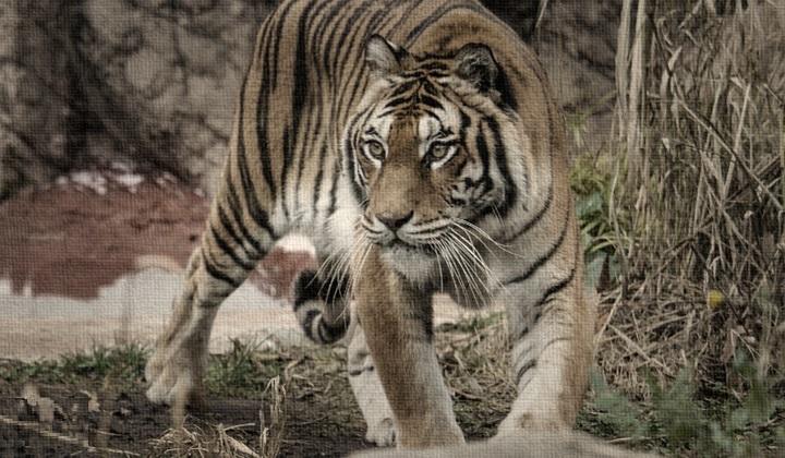 движения тигра, как двигается тигр, тигр двигается, прыжок тигра, бег тигра