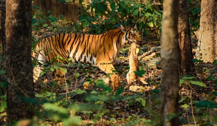 как охотится тигр, охота тигр, тигр выходит на охоту, повадки тигра на охоте