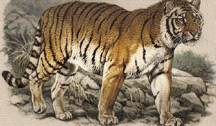 каспийский тигр, каспийский тигр это, закавказский тигр, туранский тигр