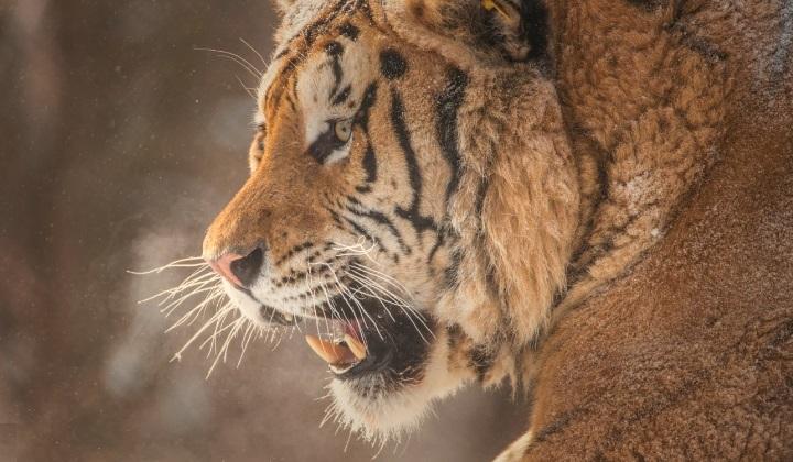 китайский тигр, родина китайского тигра, китайский тигр это