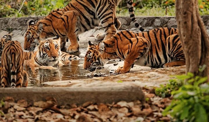 классификация тигров, виды тигров, разновидности тигров