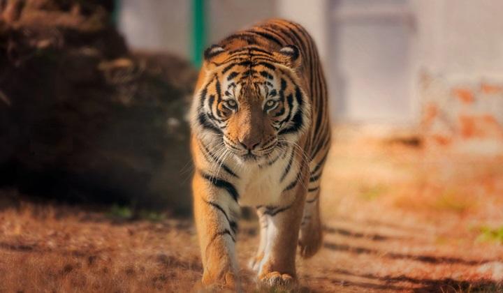 органы чувств тигра, зрение тигра, слух тигра, обоняние тигра, органы чувств у тигров