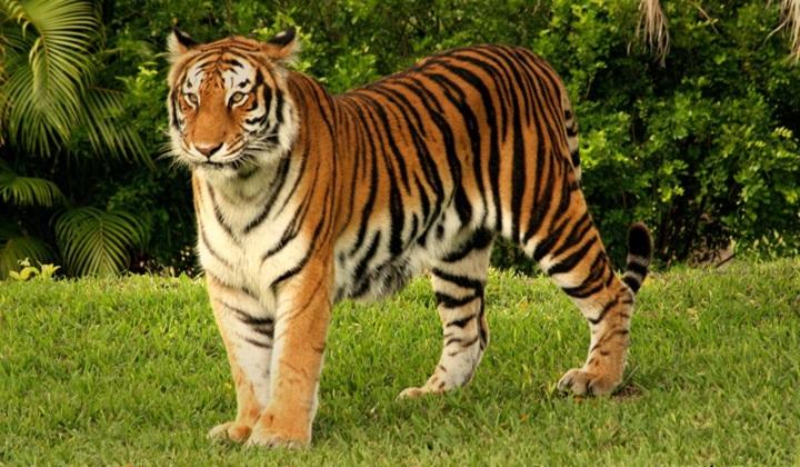 природа зверя, зверь, тигры, зверь тигр, хищник тигр