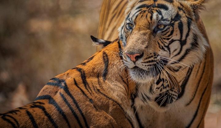 брачные игры тигров, размножение тигров, брачные игры у тигров, ухаживания за тигрицей, спаривание тигров