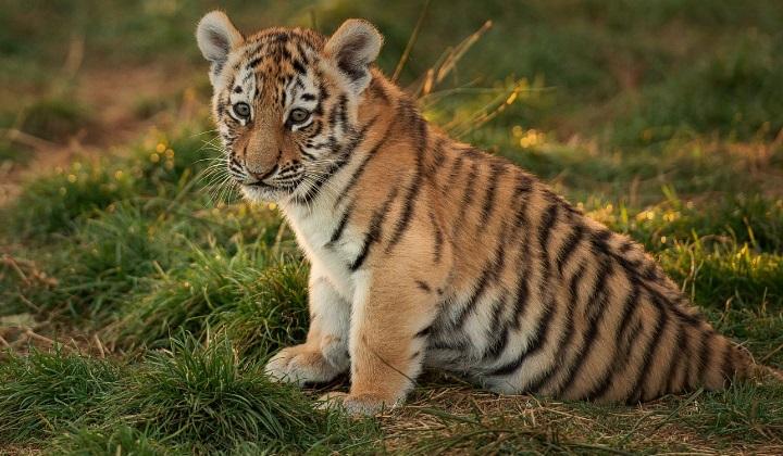 рождение тигрят, появление тигрят на свет, беременность тигрицы, процесс родов у тигров