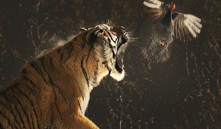 как тигр атакует жертву, стратегия атаки тигра, тигр атакует, как тигр атакует, атака тигра