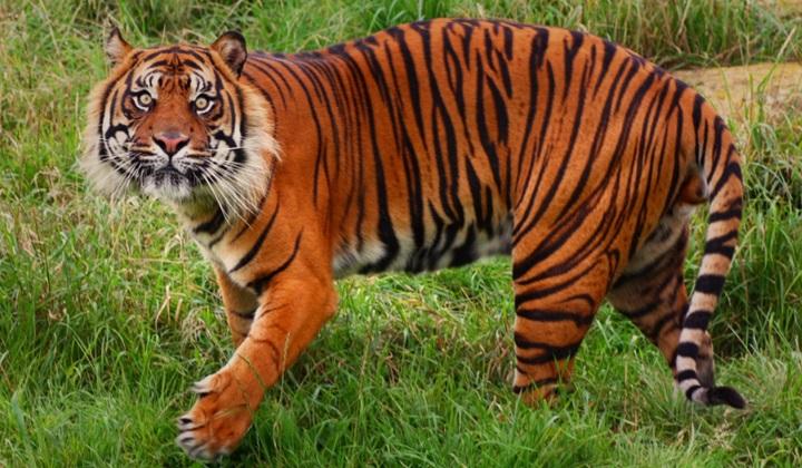 суматранский тигр, тигр с суматры, тигр с острова суматра, суматранские тигры