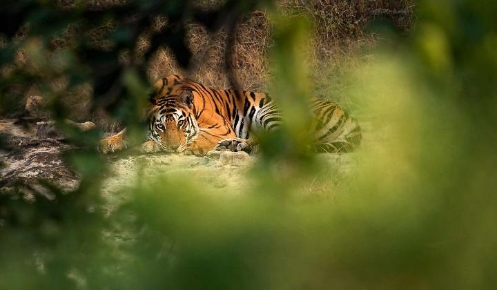 территория тигра, охрана территории тигра, владения тигра, тигриная территория, тигр охраняет свою территорию