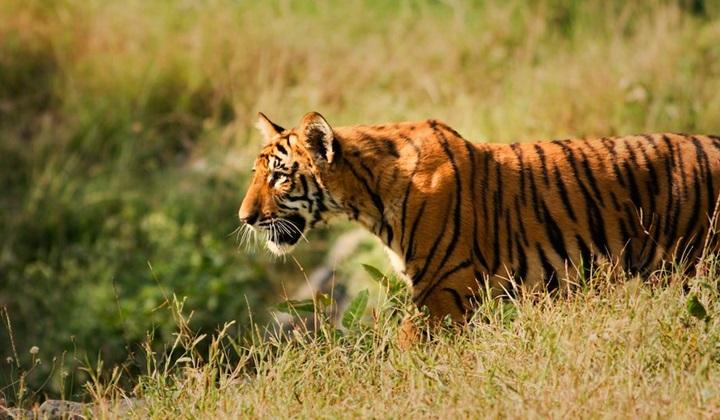 индокитайский тигр, тигр корбетта, тигры корбетта