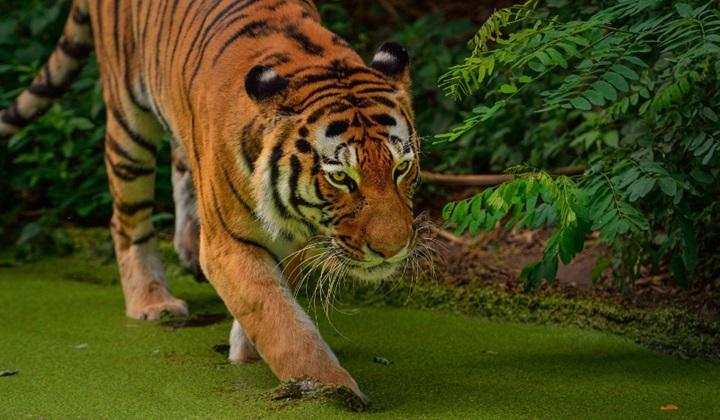 тигр, описание внешности тигра, тигрята, тигр это, расселение тигров