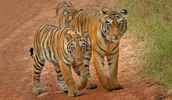 королевство тигров, в королевстве тигров, тигрица, тигрята