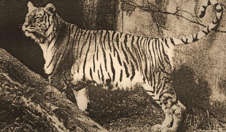 яванский тигр, родина яванского тигра, яванский тигр это