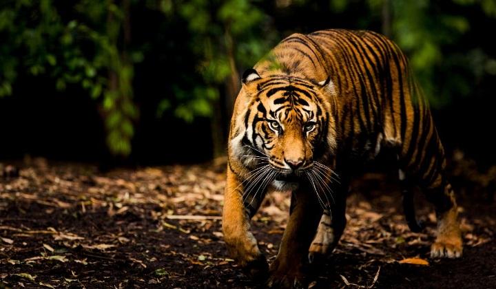о необходимости защиты тигров, необходимость защиты тигров, защита тигров, как защитить тигров, организация защиты тигров