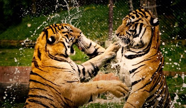 тигры, материалы о тиграх, фотографии тигров, первичные сведения о тиграх