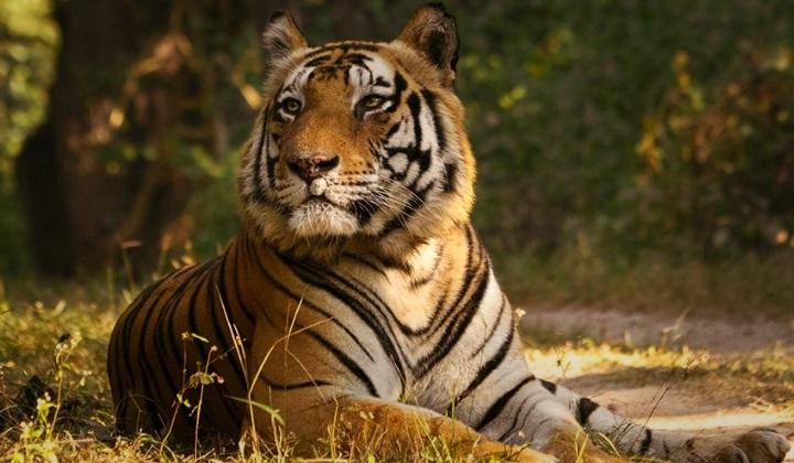 заповедники для тигров, тигровые заповедники, тигриные заповедники, наблюдение за тиграми