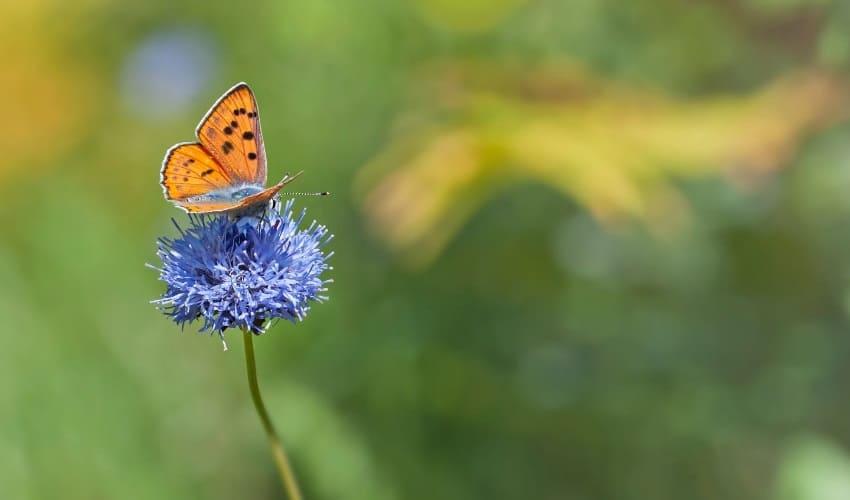 бабочка или мотылек, мотылек, мотыльки, отличия бабочек от мотыльков, чем бабочки отличаются от мотыльков