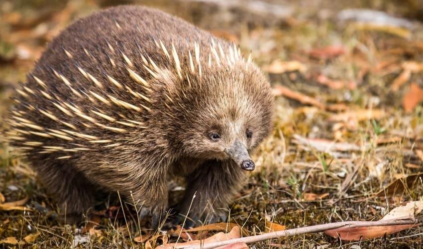 уникальный животный мир австралии, животный мир австралии