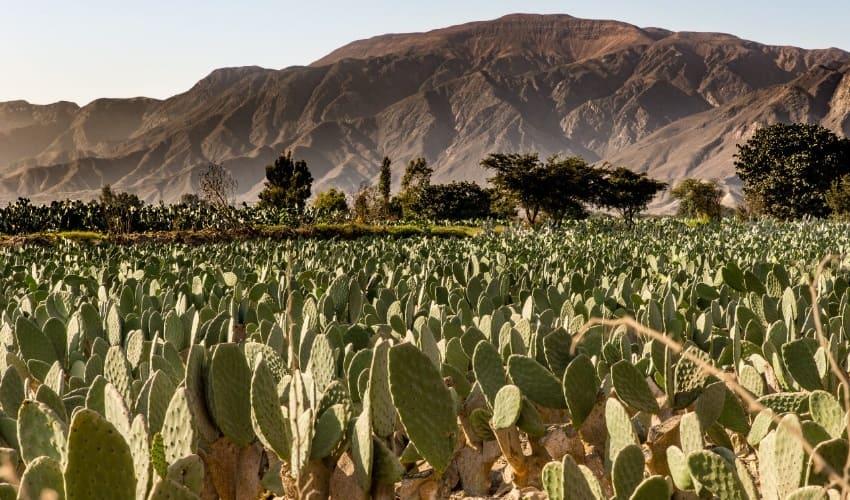 мексиканские кактусы, кактусы