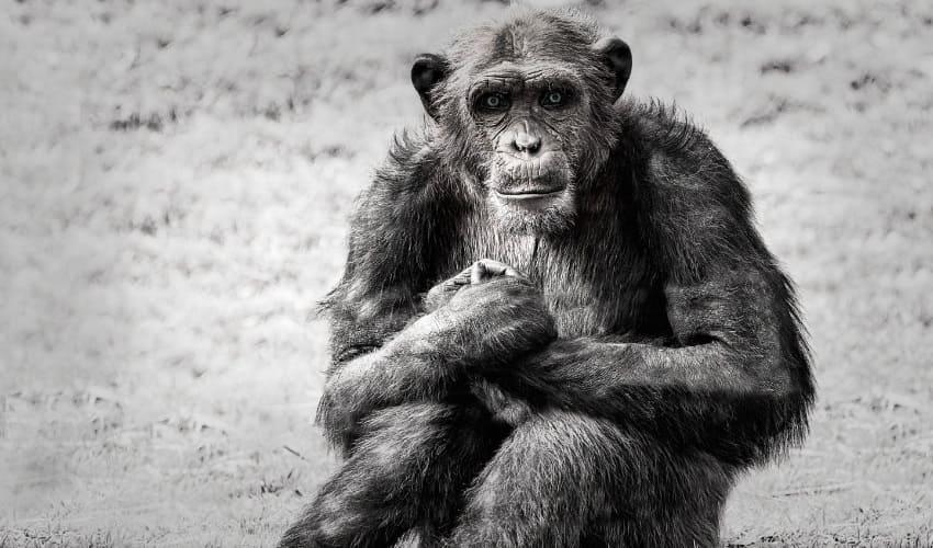 днк и классификация видов, сходство днк человека и обезьян, сходство днк человека и шимпанзе