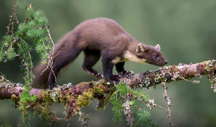 какие животные водятся в тайге, животные тайги, животный мир тайги