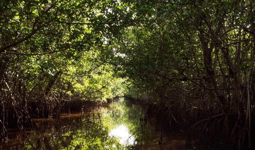мангровые болота, мангровые болота расположены, мангровые заросли