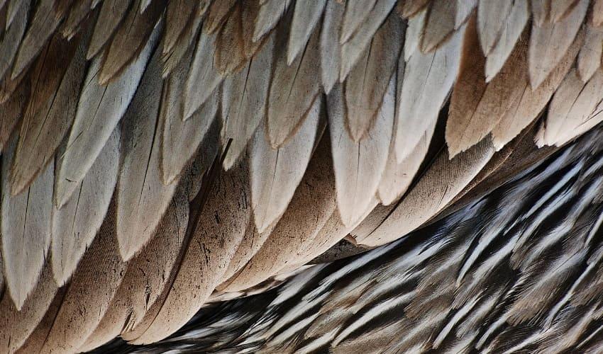 строение пера, роговой стержень пера, перья первого порядка, перья второго порядка