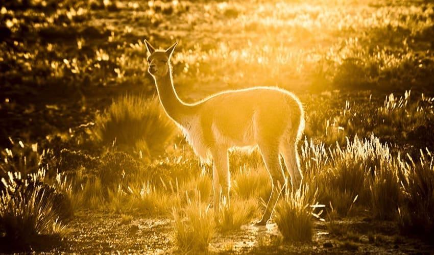 животные южной америки, животный мир южной америки