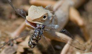Фото 1. Садовая ящерица дожевывает стрекозу, просто поймав ее в саду