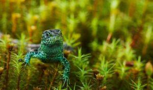 Фото 2. Самец прыткой ящерицы в брачных цветах