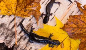 Фото 3. Пятнистые саламандры на бересте с кленовыми листьями (Онтарио, Канада)