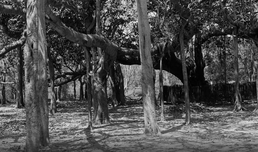 у какого дерева может быть 2000 стволов, у какого дерева могут быть тысячи стволов, дерево с тысячами стволов, баньян