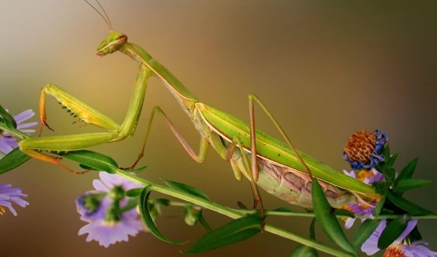 какое насекомое называют хищным маскировщиком, хищный маскировщик, богомол