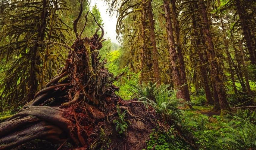 Дождевой лес Хох (Северная Америка)