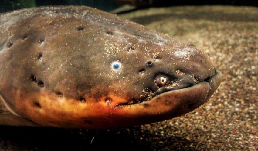 какие рыбы производят электричество, электрический угорь, электрический скат, электрический сом, клюворыл