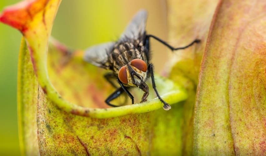 какие растения топят букашек, как растения топят букашек, саррацения, растения топят насекомых, какие растения топят насекомых