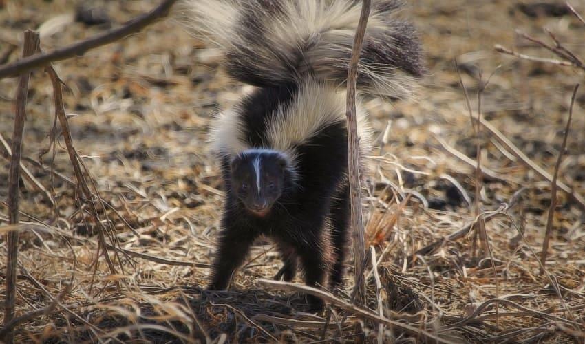 какое млекопитающее самое вонючее, самое вонючее млекопитающее, скунс самое вонючее млекопитающее, скунс