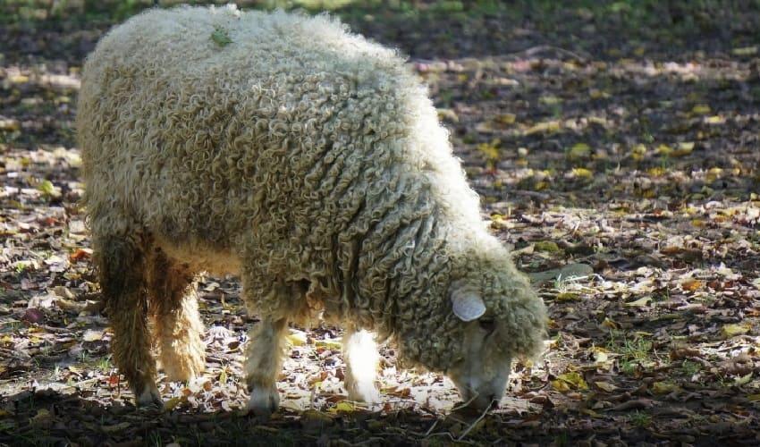 можно ли клонировать домашний скот, клонирование домашнего скота, процесс клонирования, клонирование млекопитающих. клонирование овечки