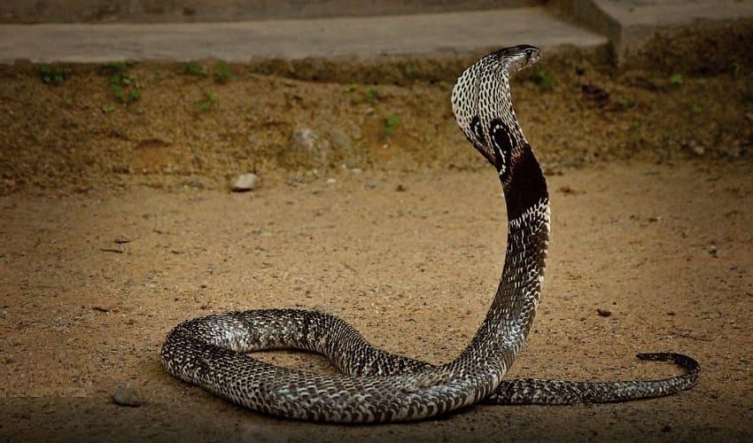 какая змея строит гнездо для детенышей, какая змея строит гнездо, кобры