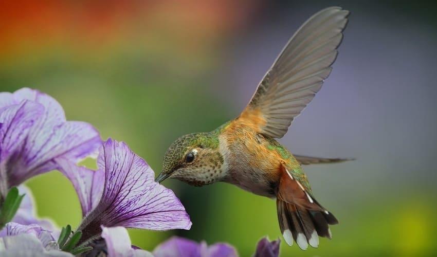 с какой скоростью могут летать колибри, колибри, колибри это