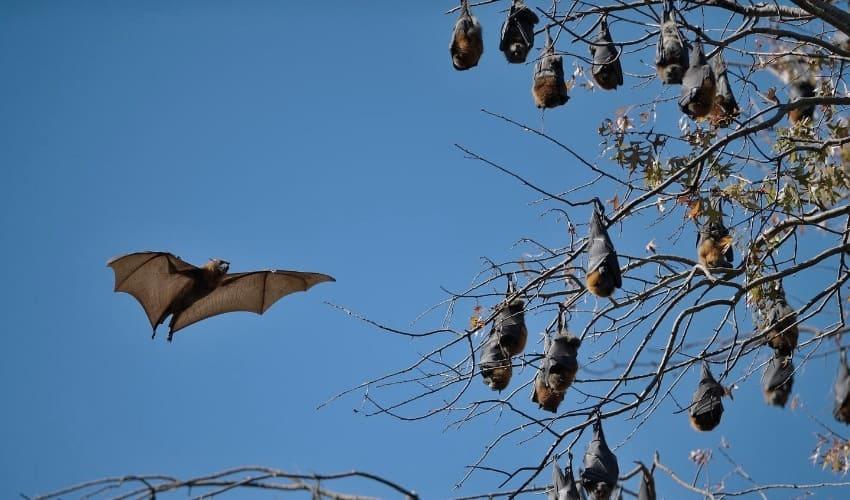какие млекопитающие умеют летать, млекопитающие умеющие летать, летучие мыши
