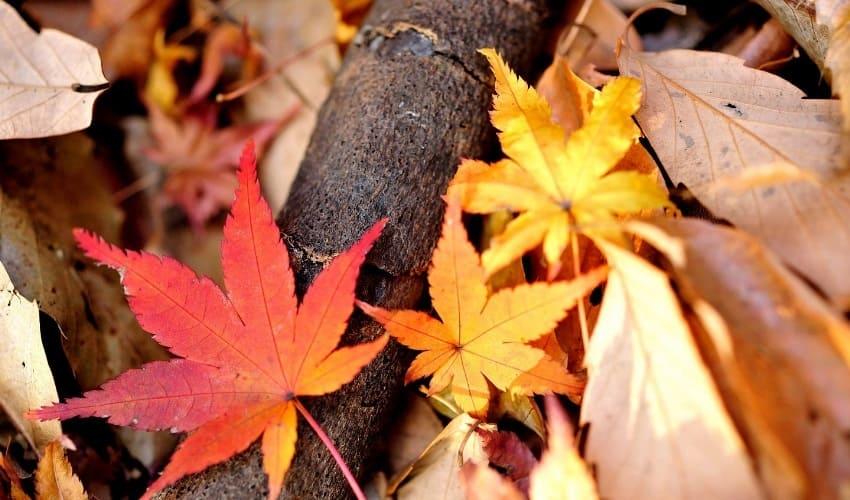 почему эти деревья называются листопадными, листопад, листопадные деревья