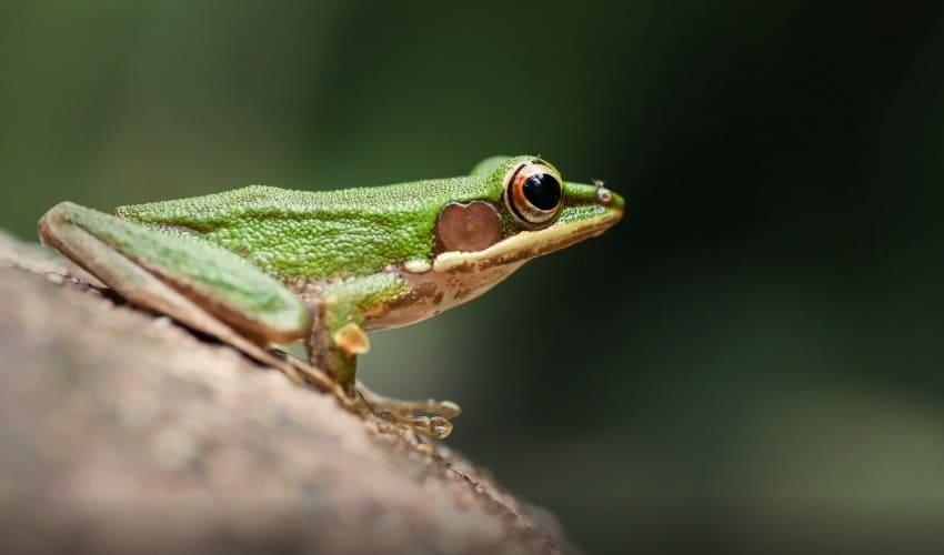 почему лягушки квакают, как квакают лягушки, квакают лягушки, лягушки, кваканье лягушек, кваканье