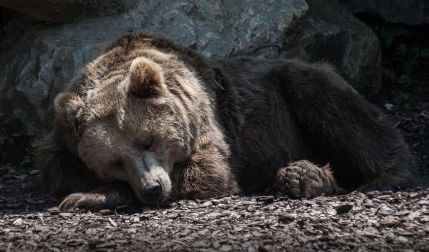 правда ли что медведи всю зиму спят, медвежья спячка, спячка медведей