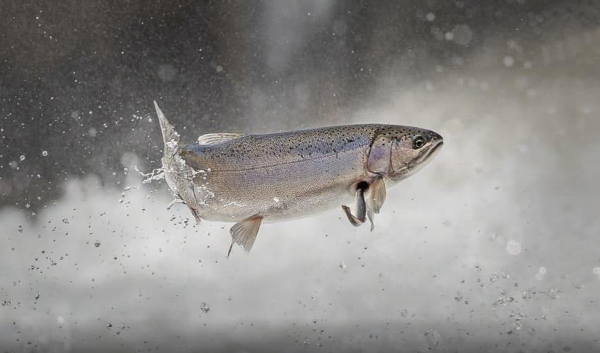 могут ли рыбы летать, летучие рыбы