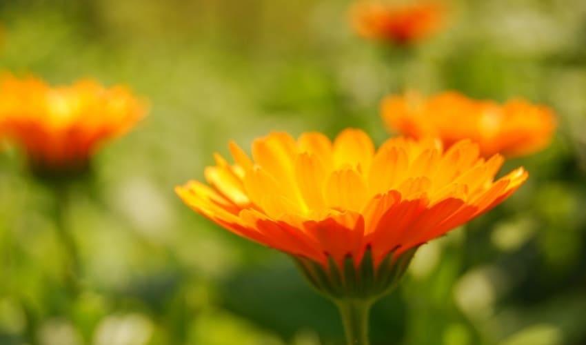 однолетние многолетние и двулетние цветы, какая разница между однолетними многолетними и двулетними цветами, однолетние цветы, многолетние цветы, двулетние цветы