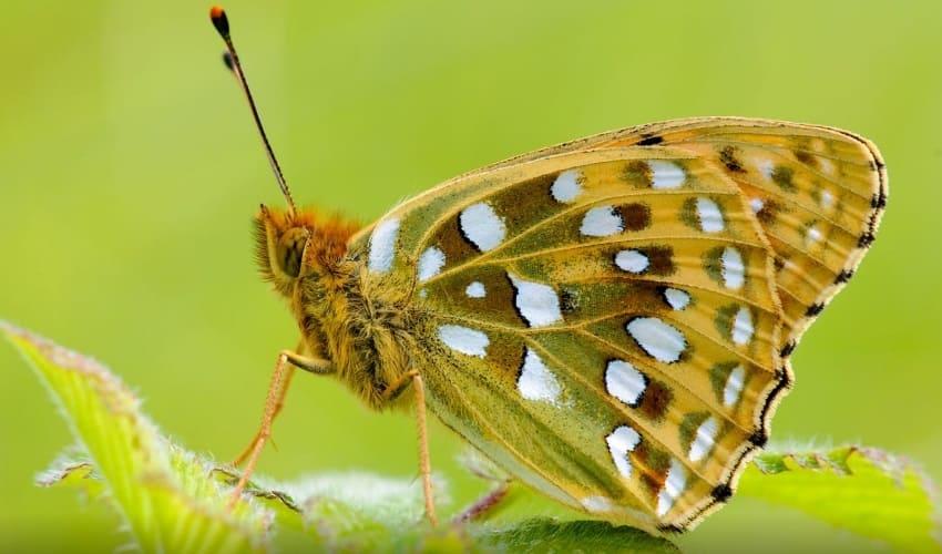 зачем бабочкам и мотылькам пятна на крыльях, зачем бабочкам пятна на крыльях, пятна на крыльях бабочек, пятна на крыльях мотыльков, почему окраска бабочек напоминает глаза